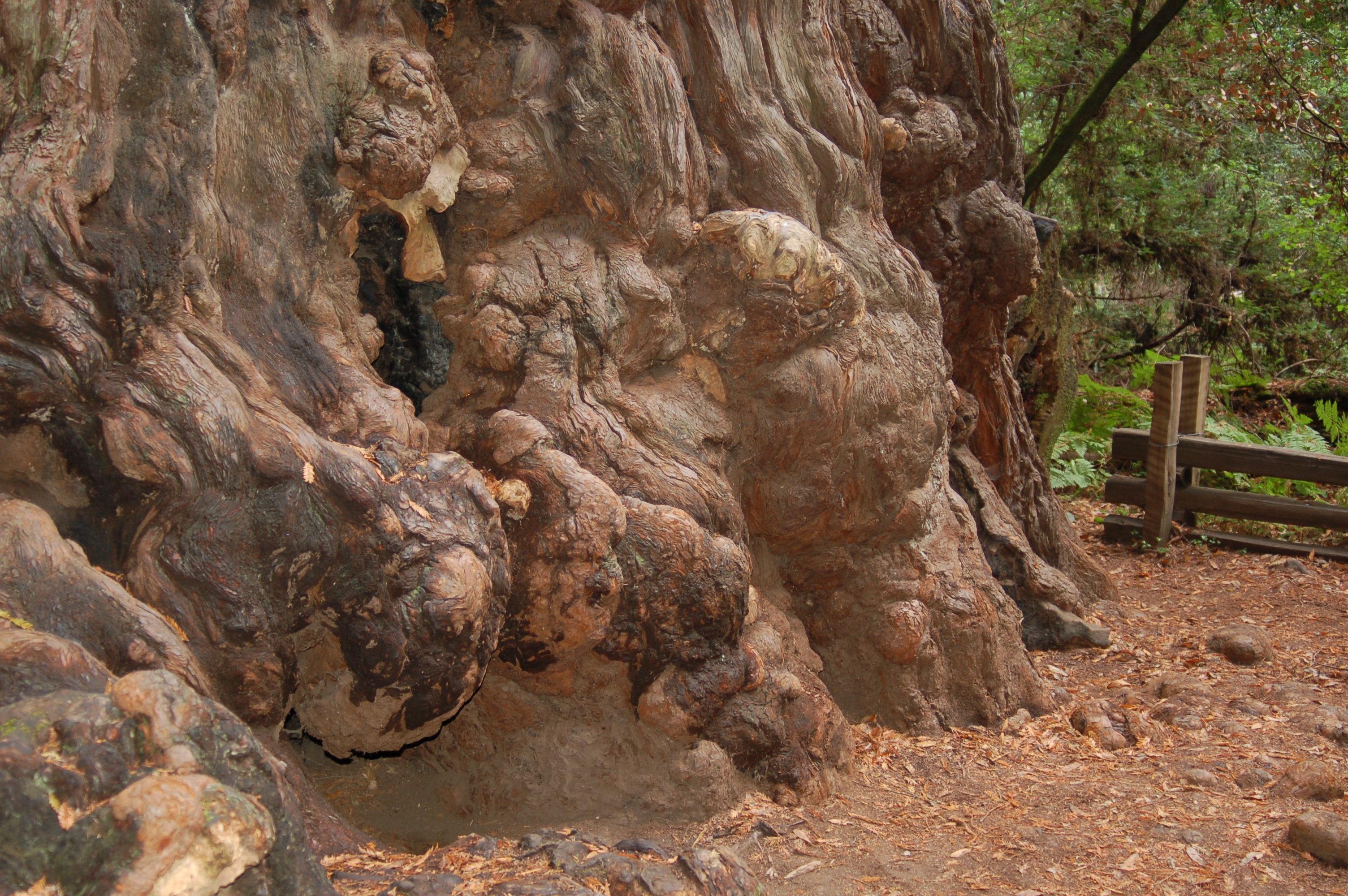 Гигантска секвоя (Sequoiadendron giganteum) - възли