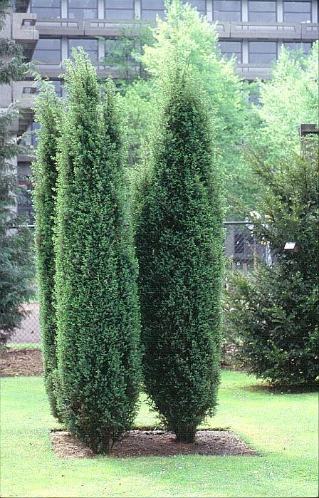 Синя смрика (Juniperus Communis) в озеленяването