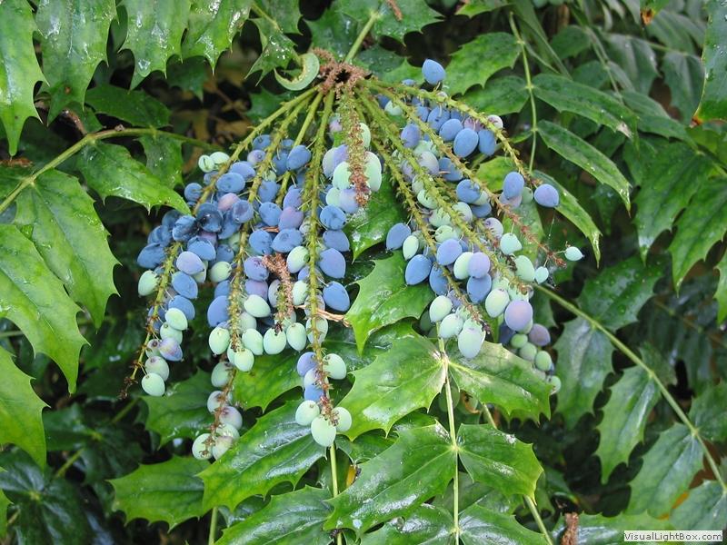 Плодовете на японската махония